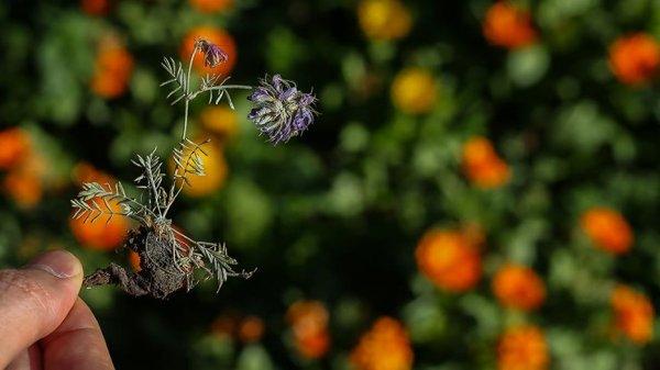 Erzurumda'da yeni bitki türü keşfedildi