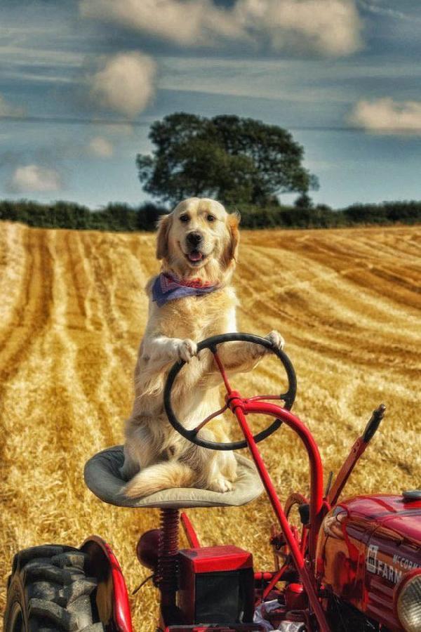 Tarlada traktör süren köpek