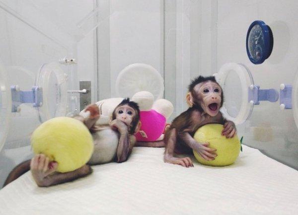 Çin'de bir ilk yapıldı: İki maymun klonlandı