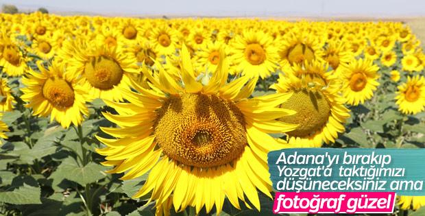 Yozgat'ta ayçiçeği ekimi yaygınlaşıyor