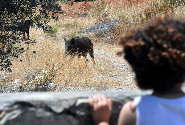 Muğla'da domuz sürüsü ilçe merkezine indi