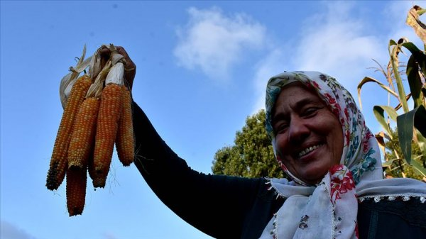 Atadan mirası tohumlarla imce usulü mısır hasadı