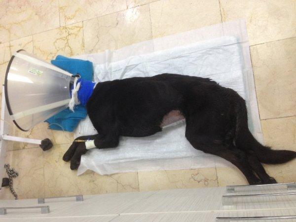 Anüsünden içeri silikon sıkılan köpek öldü