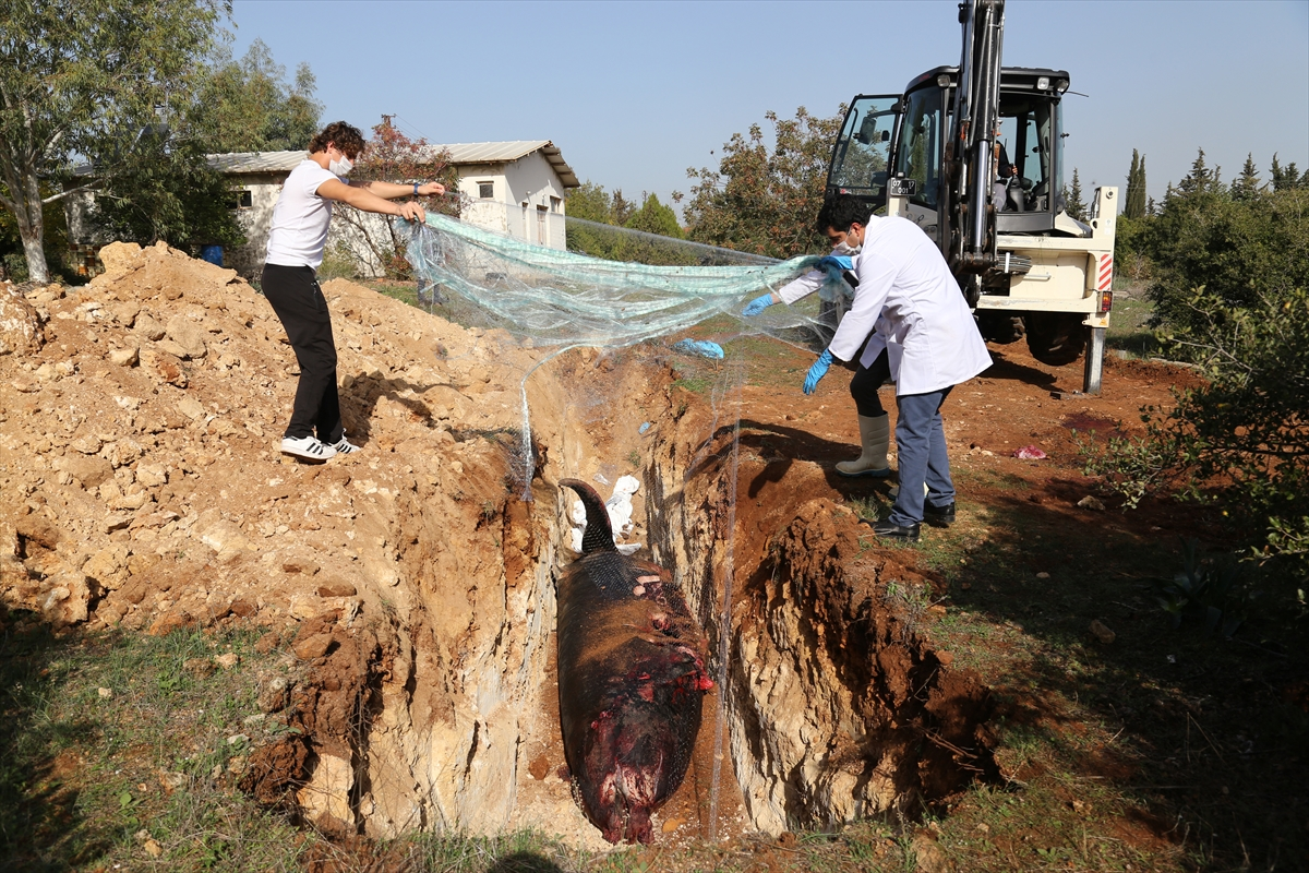 Kıyıya vuran balina üniversite yerleşkesine gömüldü
