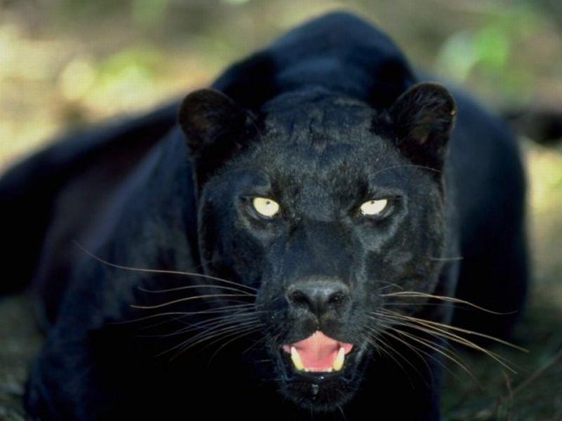 Gizemli vahşi kedi - siyah jaguar: açıklama, yaşam alanları