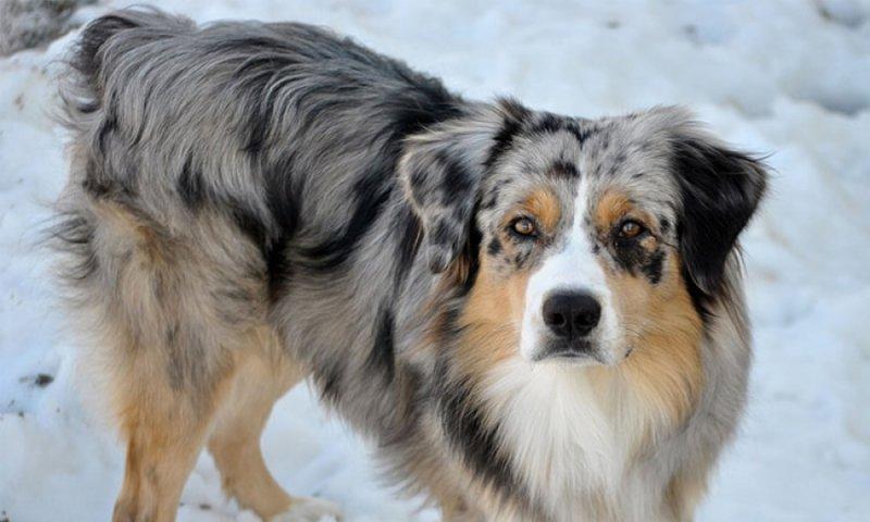 Dünyanın En Zeki 10 Köpek ırkı