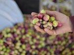 Sofralık zeytin ihracatı yüz güldürüyor