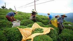 Türkiye 8 ayda 10,77 milyon dolarlık çay ihraç etti, ihracatın büyük bölümü Rize'den yapıldı