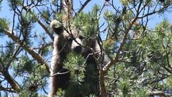 Kars'ta, bozayının ağacın tepesinde beslendiği anlar