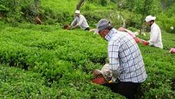 Çay bahçelerinin budanması projesi 7 yıl uzatıldı