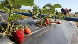 Konya Hüyük'te yetişen organik çilek tescillendi