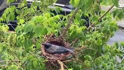 Sağanak yağmurda yumurtalarını korumaya alan karga