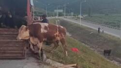 Bursa'da kamyon kasasında boğa güreşi: 1'i telef oldu