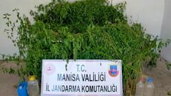 Manisa'da dere yatağındaki sazlık alanda bin 624 kök kenevir ele geçirildi