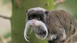 Fransa'daki hayvanat bahçesinden 10 lemur ve 2 tamarin maymununu çaldırlar