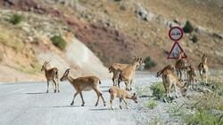Tunceli'de dağlarda yiyecek bulamayan keçiler, tarlalara indi