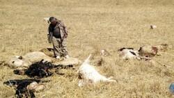 Çorum'da kurtlar sürüye saldırdı: 30 hayvan öldü