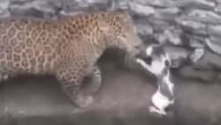 Leopara meydan okuyan kedi kamerada