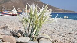 Muğla'da çıkan kum zambağını koparmanın cezası 80 bin 465 TL