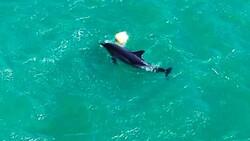 Balıkesir'de yunusun şamandırayla oyunu drone ile görüntülendi