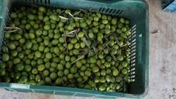 Yamalak Sarısı zeytini üreticileri dünyaca tanınmak istiyor