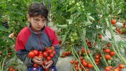 Lokantaların açılmasıyla domatesin kilosu 2 liradan 3.5 liraya çıktı
