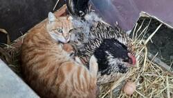 Tavuk, kedi yavrularına annelik yapıyor