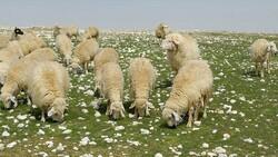 Koyun ve keçi desteği ödemeleri başlıyor: 2021 Hayvancılık destekleri ne kadar?
