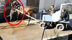 Adana'da sahipsiz pitbull atı ısırdı