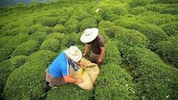 Yaş çay alımları yeniden başladı! Çaykur yaş çay alım fiyatları ne kadar?