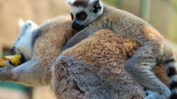 Yavrularını sırtında taşıyan lemrular Darıca'da misafir