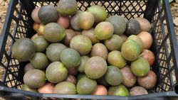 İlk hasadı yapılan passifloranın kilosu 75 lira