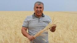 Sivas'ta buğdayın alternatifi tritikale kuraklığa rağmen üreticisini mutlu etti