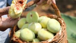 Kahramanmaraş'ın Abbas incirinde hasat dönemi