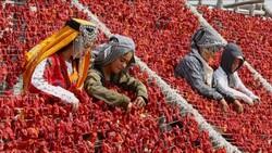 Gaziantep'te yaz lezzetleri kurutularak kışa hazırlanıyor