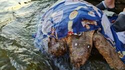 Muğla'da hasta olan kaplumbağaya yardım ettiler