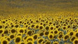 İklim değişikliğinin Trakya'daki ayçiçeğine etkisi açıklandı