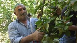 Bitlis'te Hizan fındığının hasadına başlandı