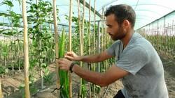 Adana'da hayvan yemi ekilen tarlayı, tropikal meyve serasına dönüştürdü