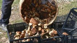 Sinop ormanlarında toplanan mantarlar ek gelir kapısı