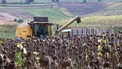 Samsun'da ayçiçeğinin hasadına başlandı