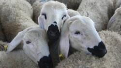 Kahramankazan'da canlı hayvan pazarı