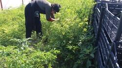 Aksaray'da mor çilek yetiştiren vatandaş taleplere yetişmekte zorlanıyor