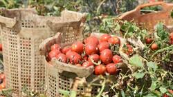 Bursa'da bu yıl salçalık domateste verim çok yüksek