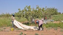 Şanlıurfa TİGEM'de fıstık hasadı devam ediyor