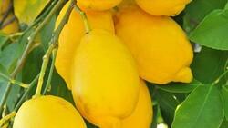 Enterdonat cinsi limonun ihracatı 17 Eylül'de başlıyor