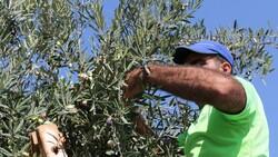 1.200 yaşındaki zeytin ağacından kasa kasa ürün alınıyor
