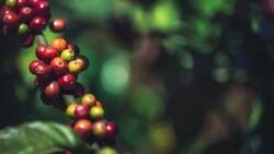 Kahve türlerinin yüzde 60'ı tükeniyor
