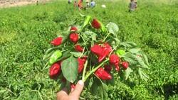 Gaziantep Araban Ovası'nda kırmızı biber hasadı
