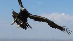 Tekirdağ'da drone gören kartal
